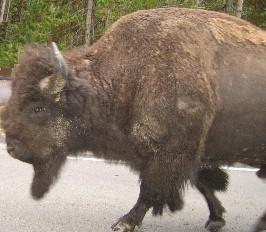 El año del Búfalo